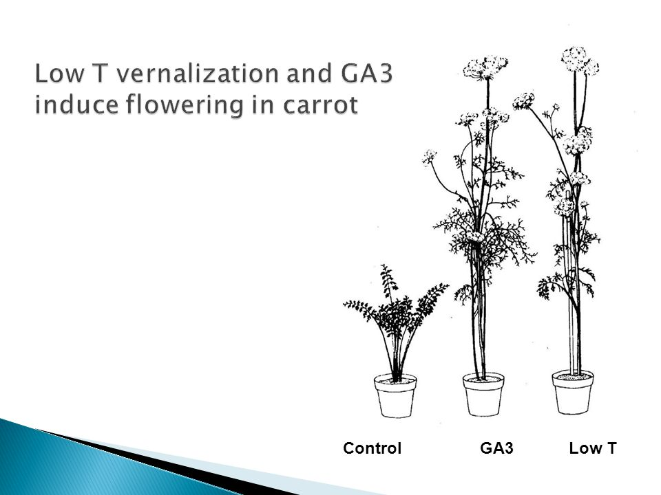 Low T vernalization and GA3 induce flowering in carrot