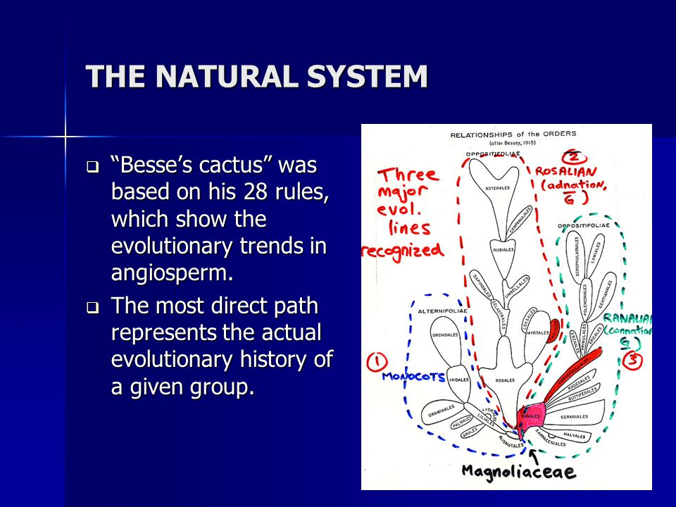 THE NATURAL SYSTEM Besse's cactus was based on his 28 rules, which show the evolutionary trends in angiosperm.