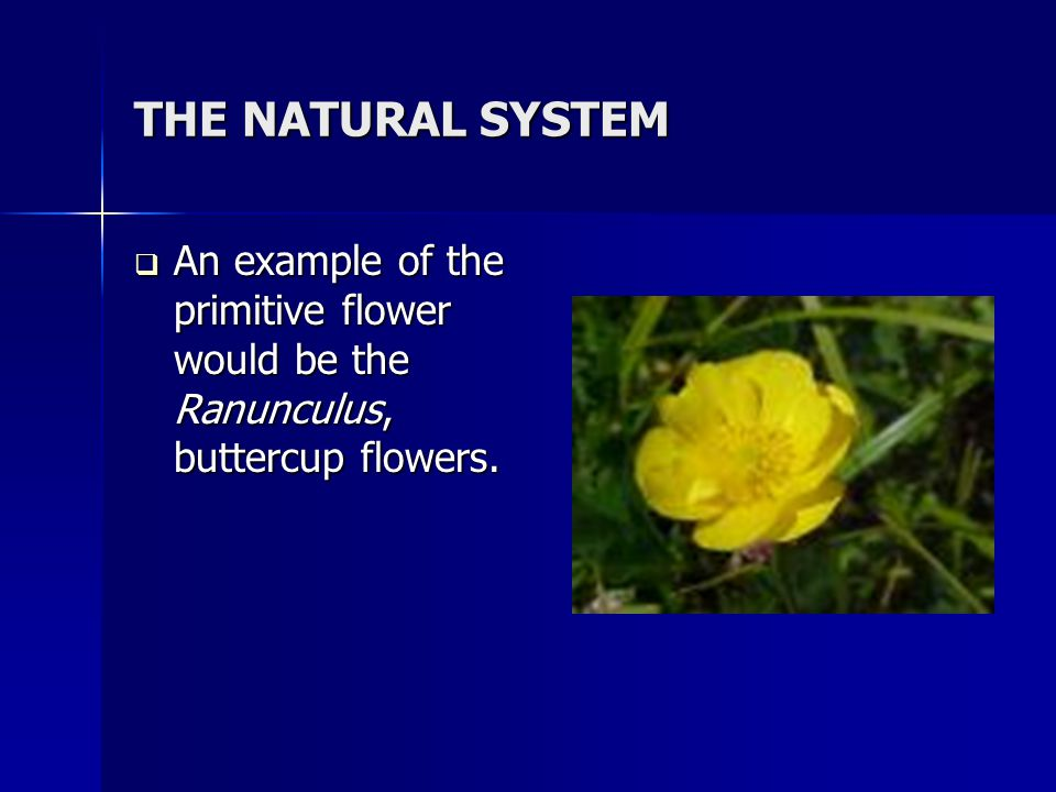 THE NATURAL SYSTEM An example of the primitive flower would be the Ranunculus, buttercup flowers.