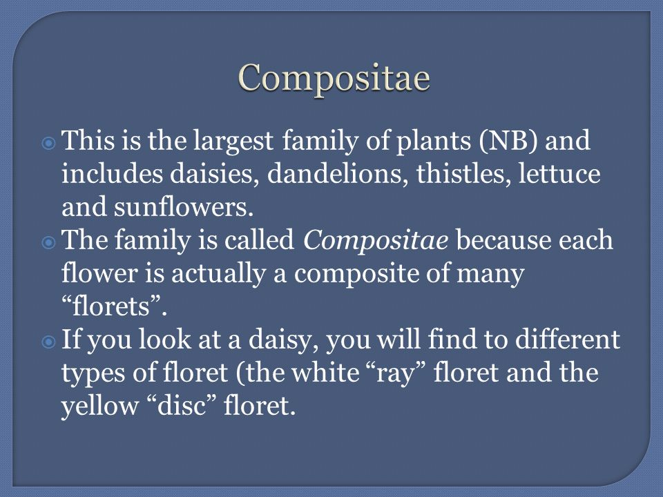 Compositae This is the largest family of plants (NB) and includes daisies, dandelions, thistles, lettuce and sunflowers.