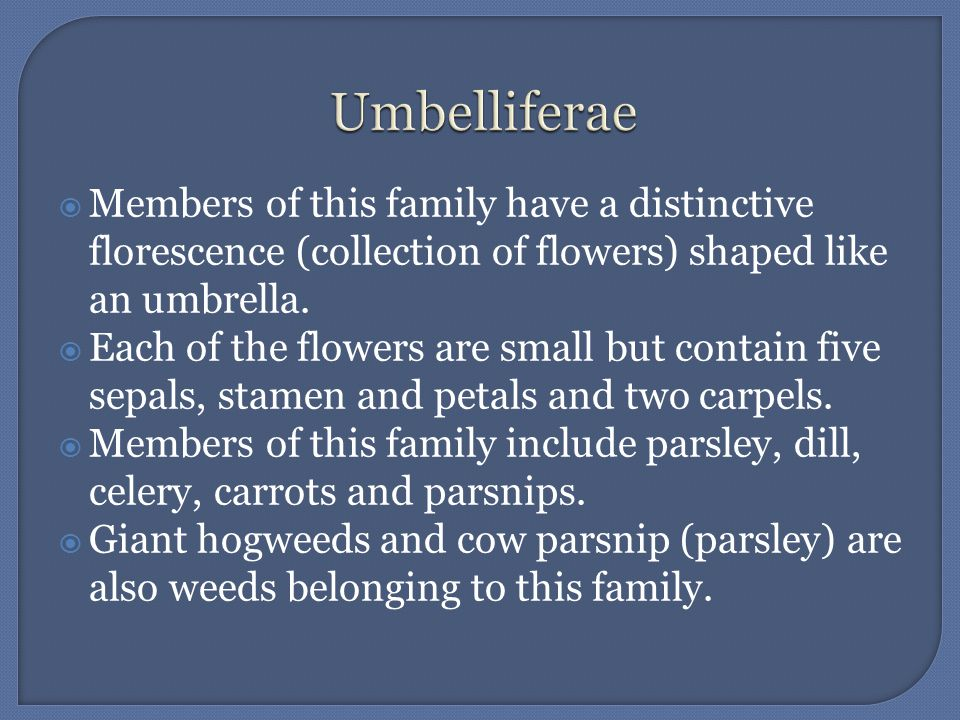 Umbelliferae Members of this family have a distinctive florescence (collection of flowers) shaped like an umbrella.
