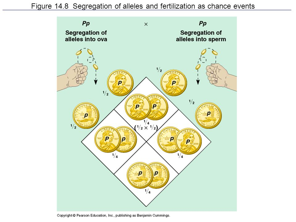 Figure 14.8 Segregation of alleles and fertilization as chance events