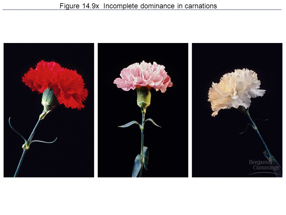 Figure 14.9x Incomplete dominance in carnations