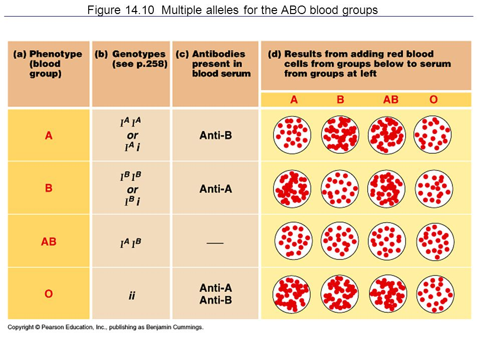 Figure 14.10 Multiple alleles for the ABO blood groups