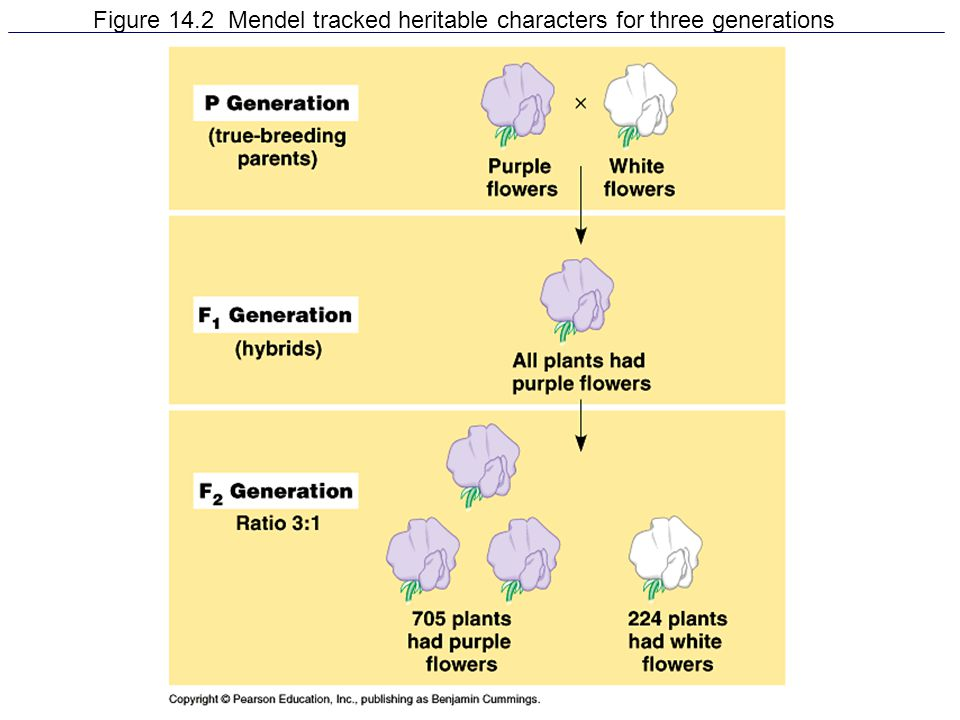 Figure 14.2 Mendel tracked heritable characters for three generations