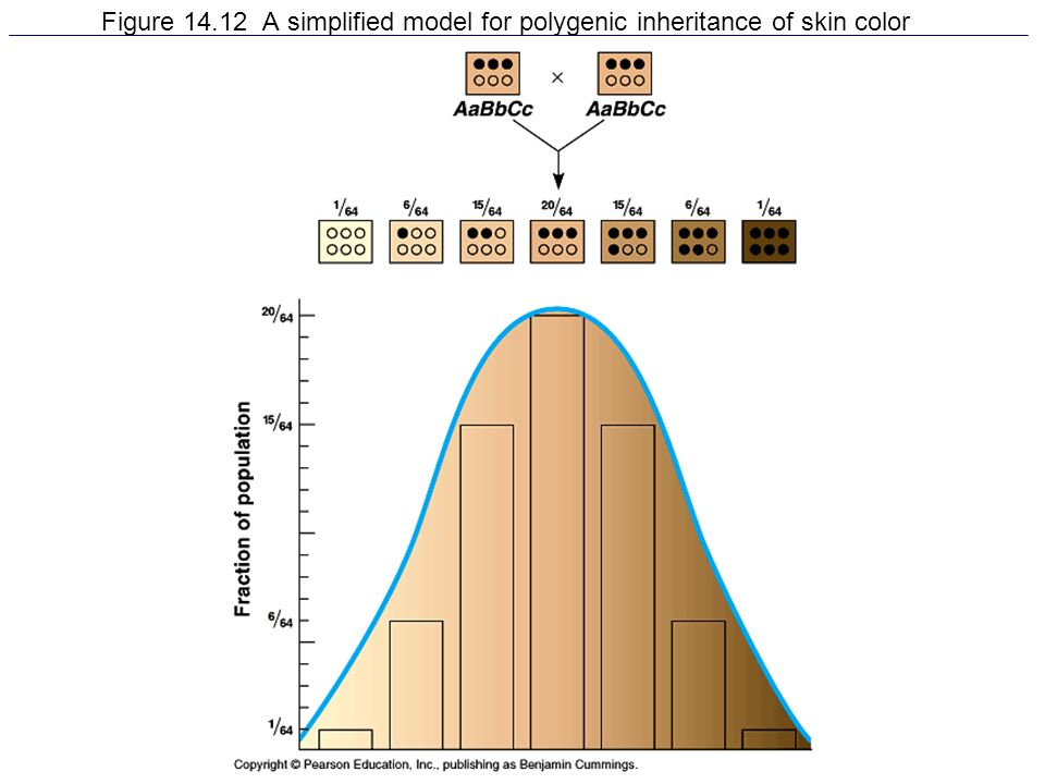 Figure 14.12 A simplified model for polygenic inheritance of skin color