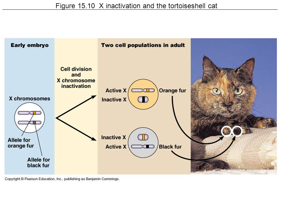 Figure X inactivation and the tortoiseshell cat