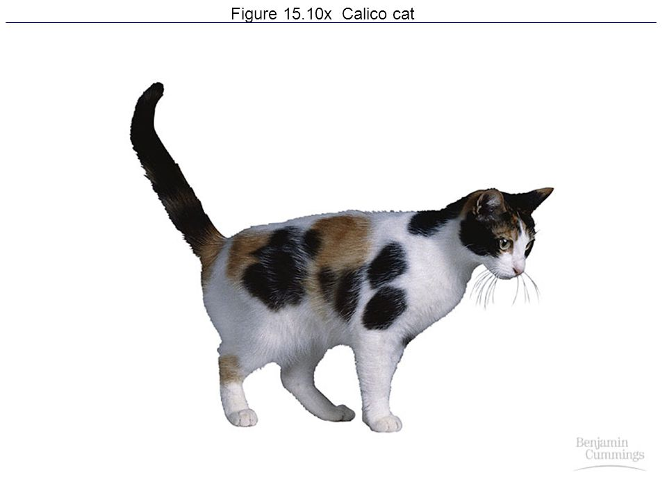 Figure 15.10x Calico cat