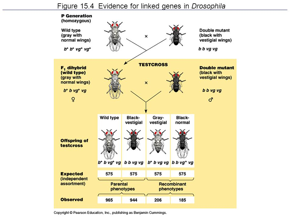 Figure 15.4 Evidence for linked genes in Drosophila