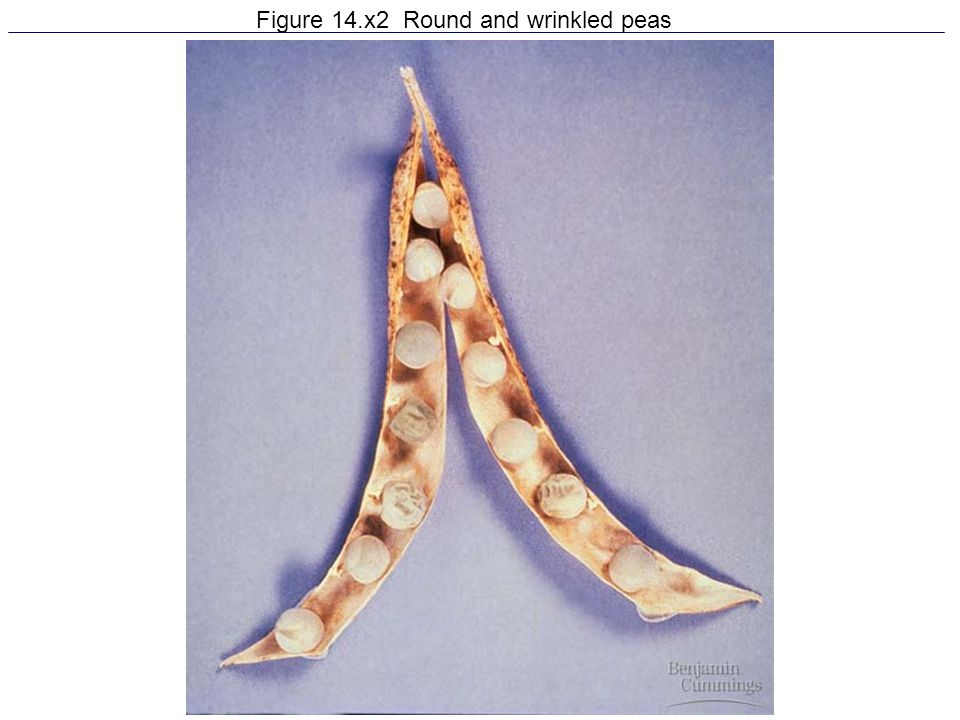 Figure 14.x2 Round and wrinkled peas