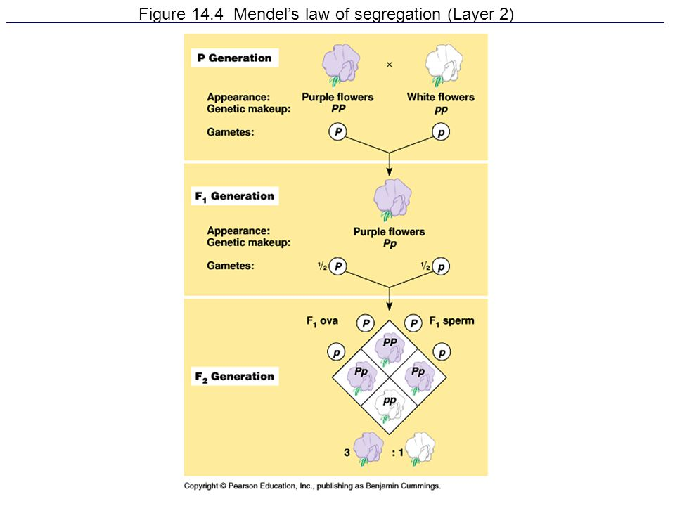 Figure 14.4 Mendel's law of segregation (Layer 2)