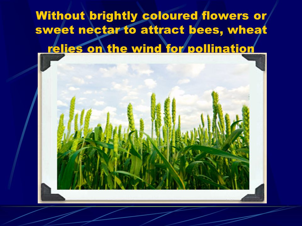 Without brightly coloured flowers or sweet nectar to attract bees, wheat relies on the wind for pollination