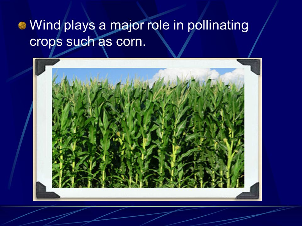 Wind plays a major role in pollinating crops such as corn.