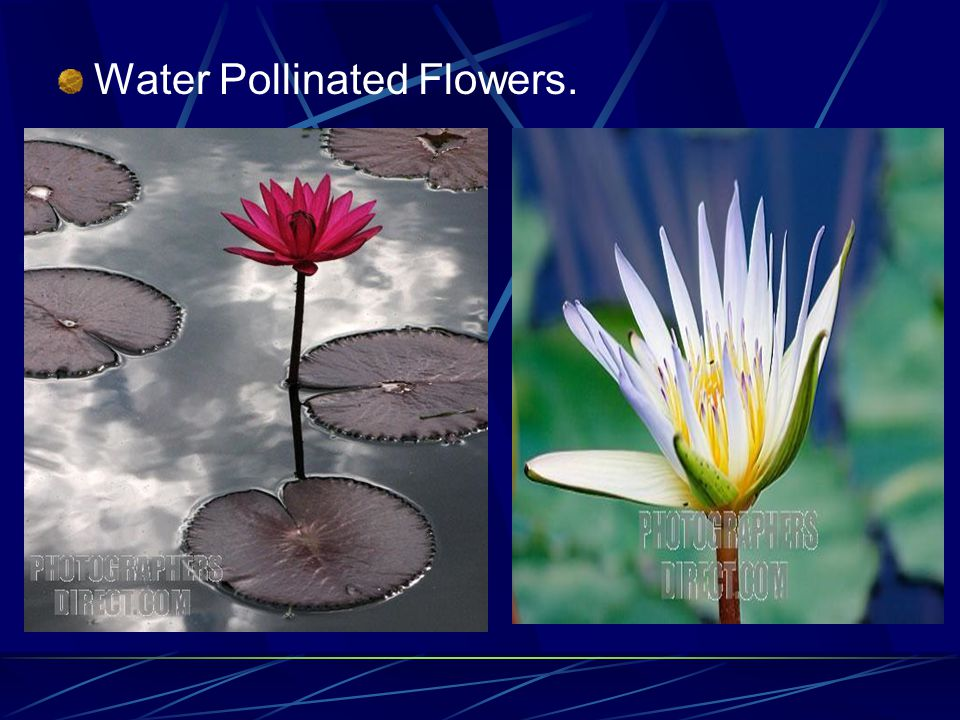 Water Pollinated Flowers.
