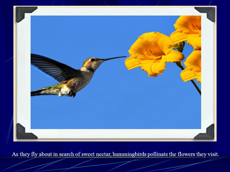 As they fly about in search of sweet nectar, hummingbirds pollinate the flowers they visit.
