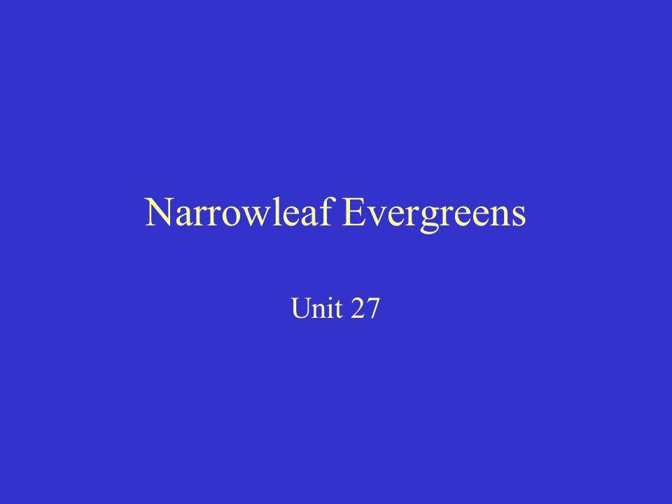 Narrowleaf Evergreens