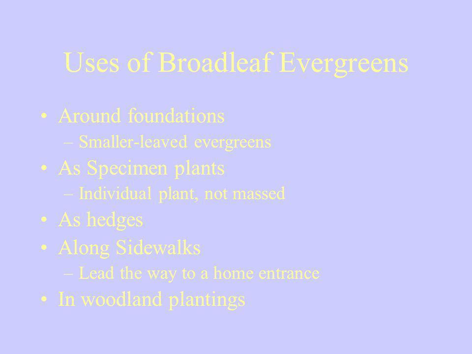 Uses of Broadleaf Evergreens