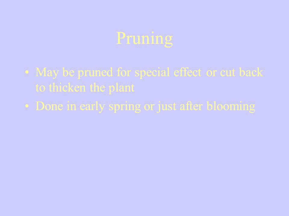 Pruning May be pruned for special effect or cut back to thicken the plant.