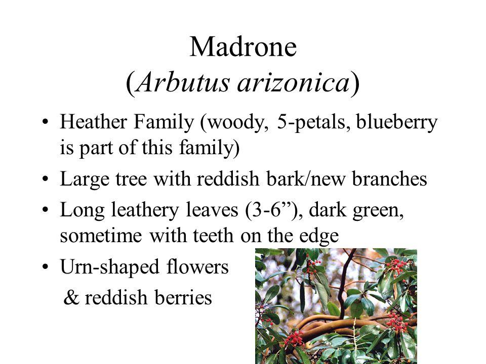 Madrone (Arbutus arizonica)