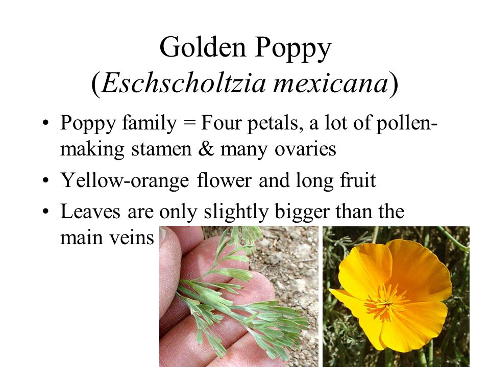 Golden Poppy (Eschscholtzia mexicana)