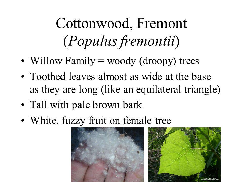 Cottonwood, Fremont (Populus fremontii)