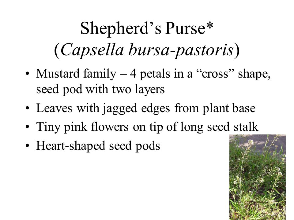 Shepherd's Purse* (Capsella bursa-pastoris)