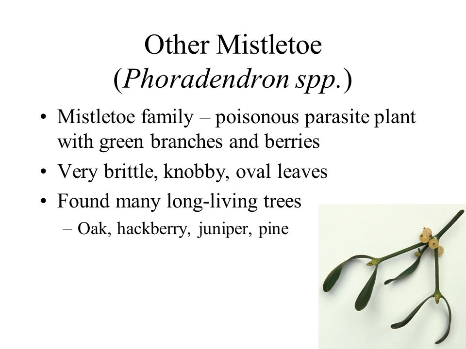 Other Mistletoe (Phoradendron spp.)