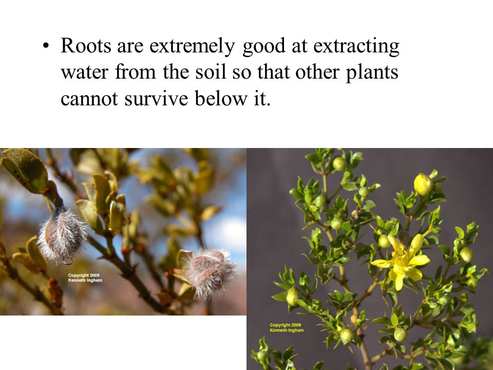 Roots are extremely good at extracting water from the soil so that other plants cannot survive below it.
