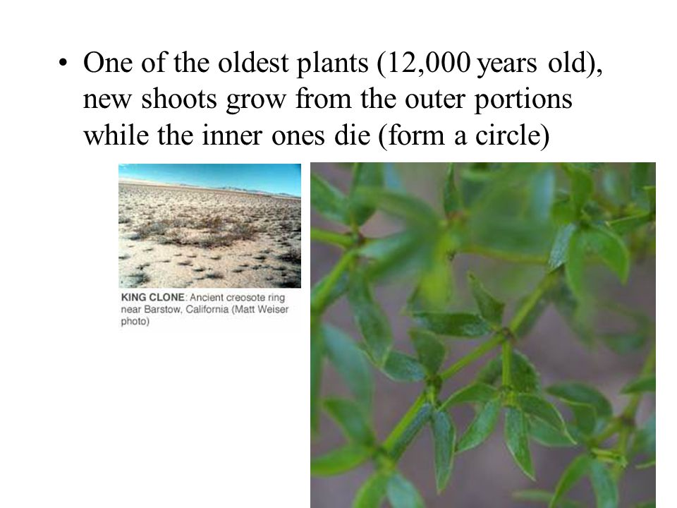 One of the oldest plants (12,000 years old), new shoots grow from the outer portions while the inner ones die (form a circle)