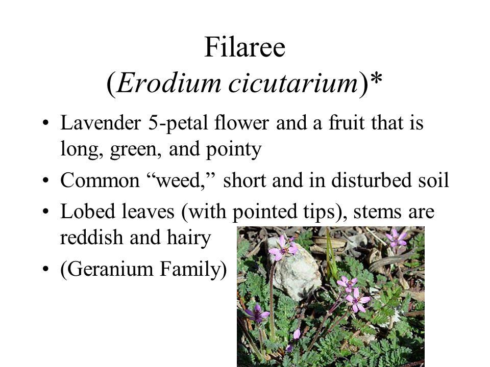 Filaree (Erodium cicutarium)*