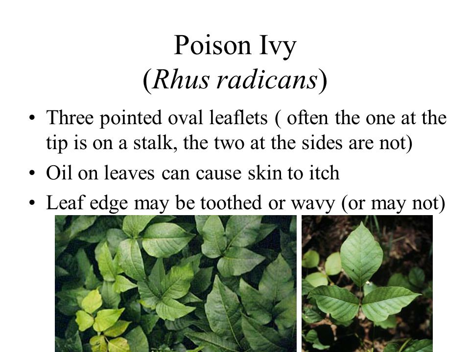 Poison Ivy (Rhus radicans)