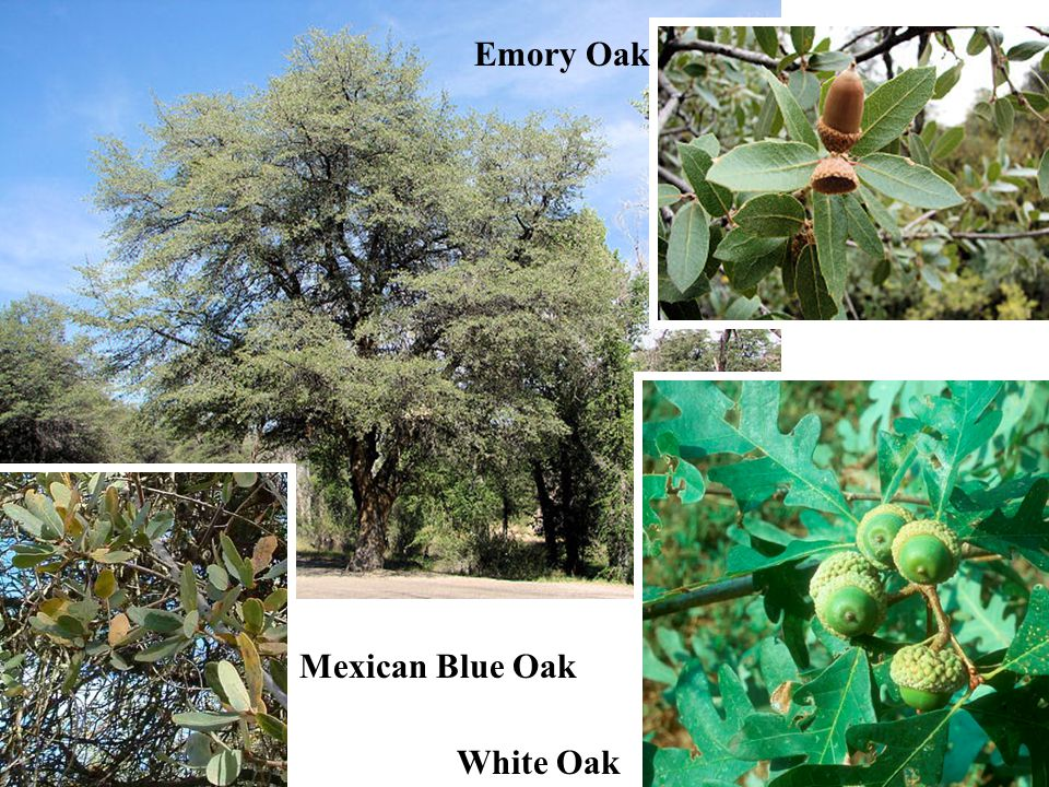 Emory Oak Mexican Blue Oak White Oak