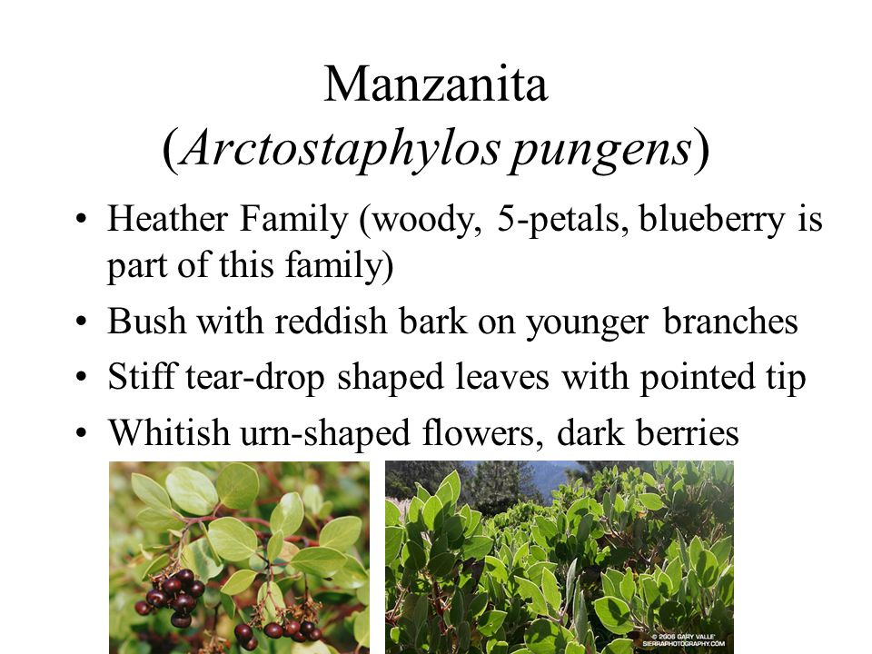 Manzanita (Arctostaphylos pungens)