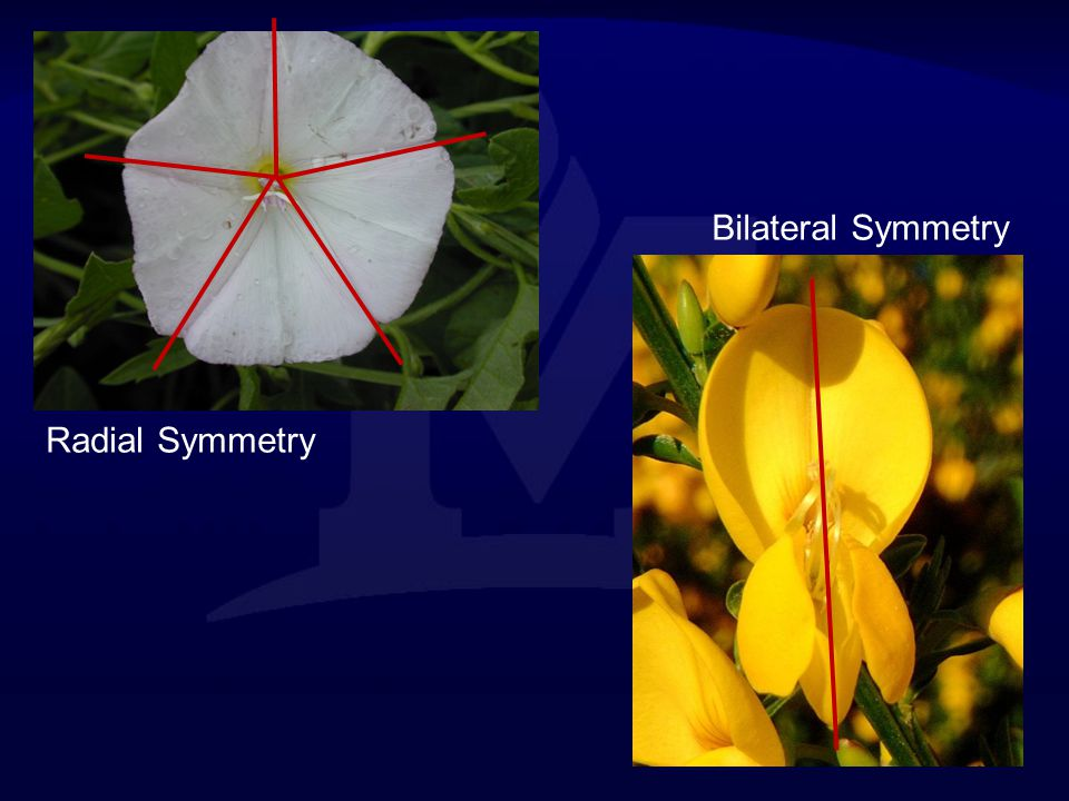 Bilateral Symmetry Radial Symmetry