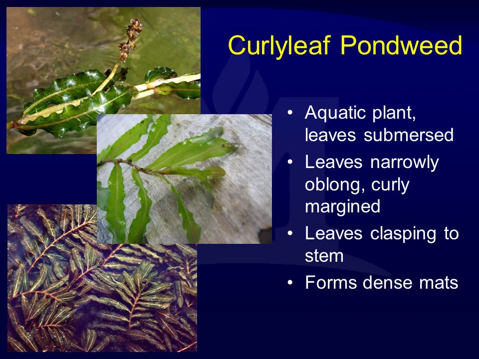 Curlyleaf Pondweed Aquatic plant, leaves submersed