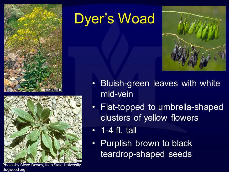 Dyer's Woad Bluish-green leaves with white mid-vein