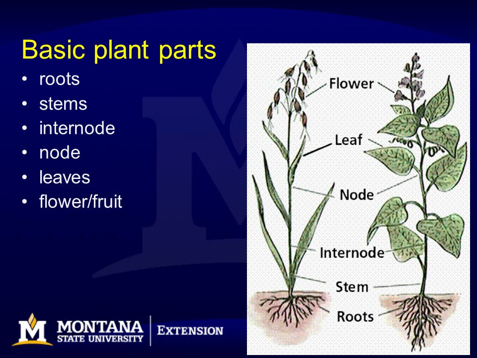Basic plant parts roots stems internode node leaves flower/fruit