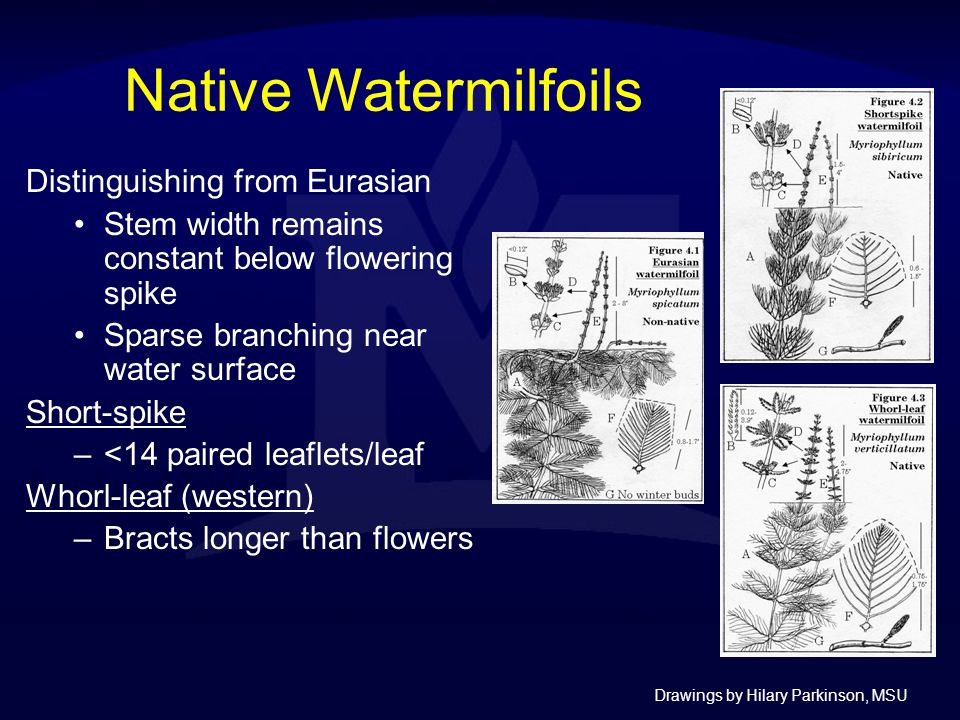 Native Watermilfoils Distinguishing from Eurasian