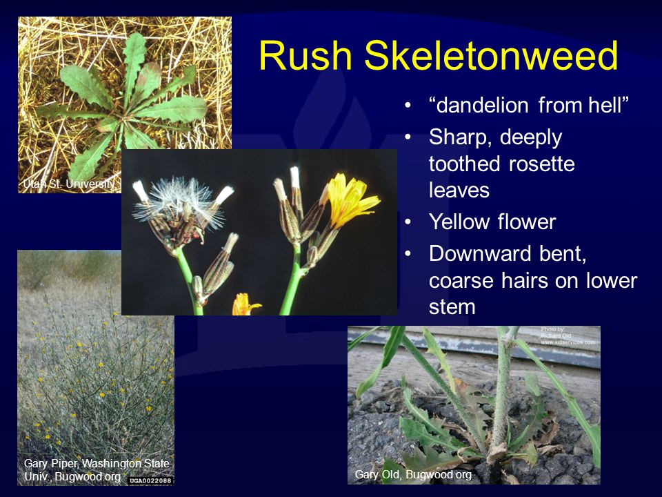Rush Skeletonweed dandelion from hell