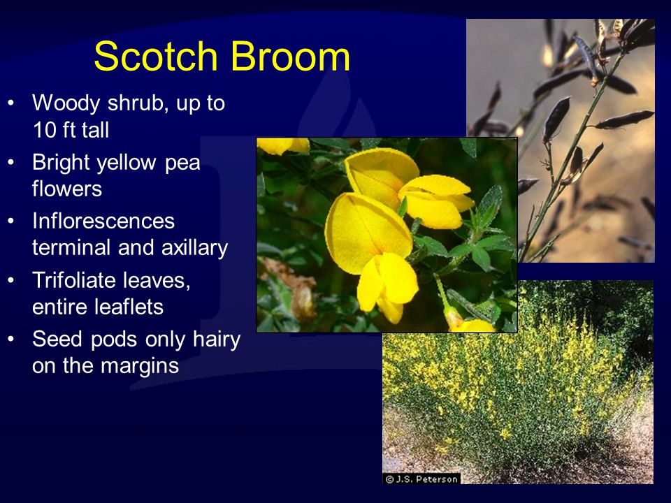 Scotch Broom Woody shrub, up to 10 ft tall Bright yellow pea flowers