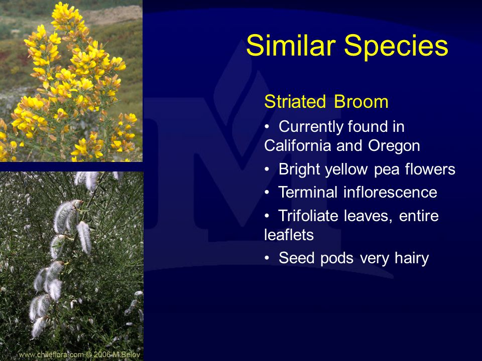 Similar Species Striated Broom