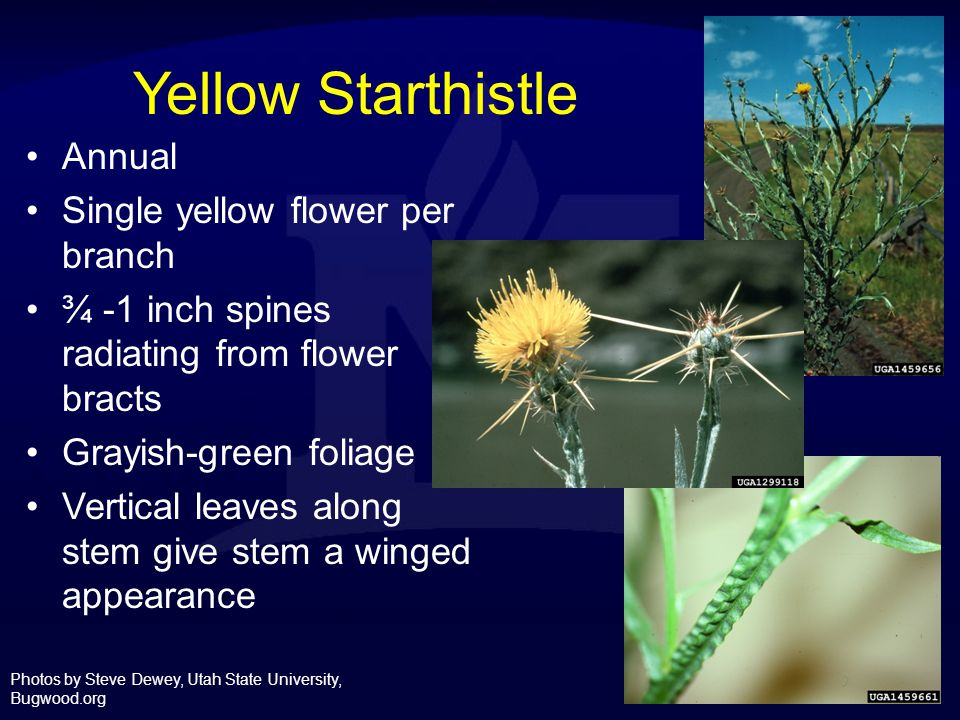Yellow Starthistle Annual Single yellow flower per branch
