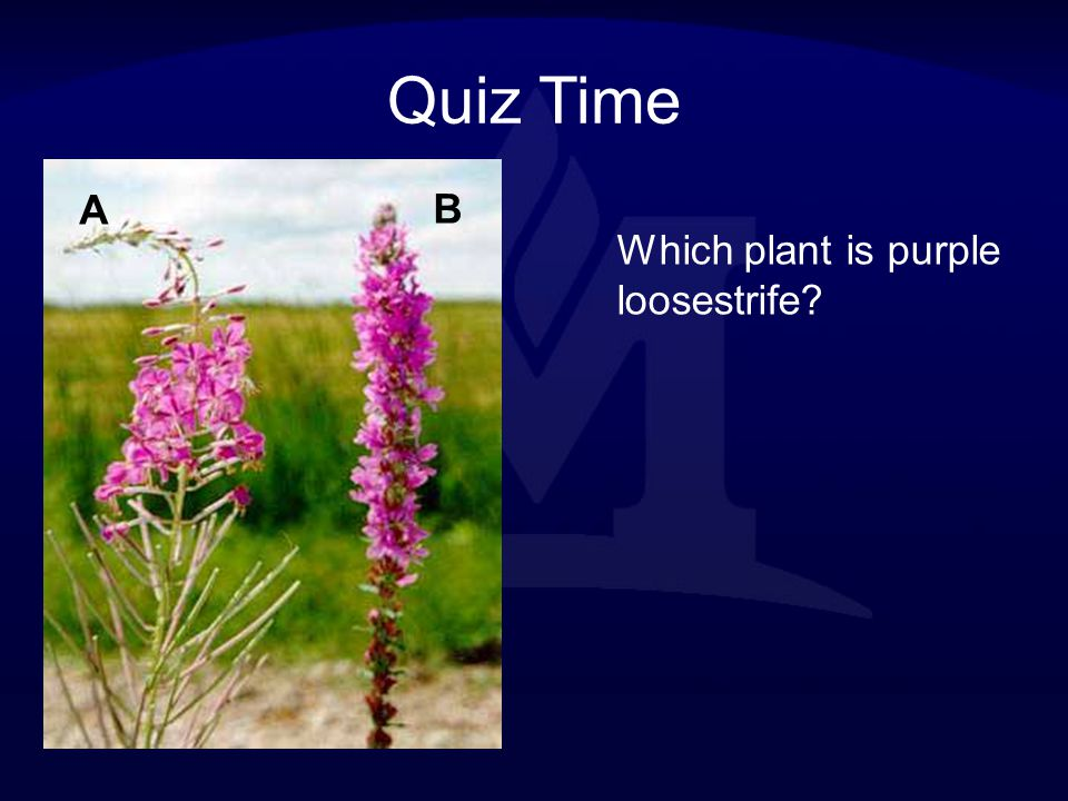 Quiz Time A B Which plant is purple loosestrife
