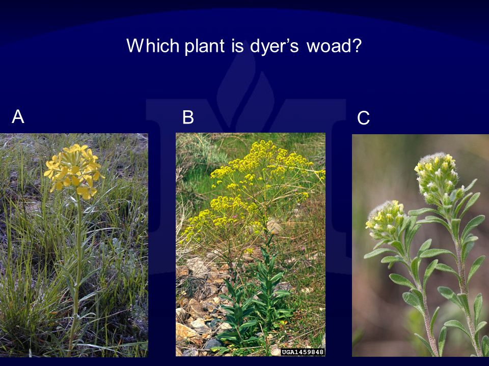 Which plant is dyer's woad