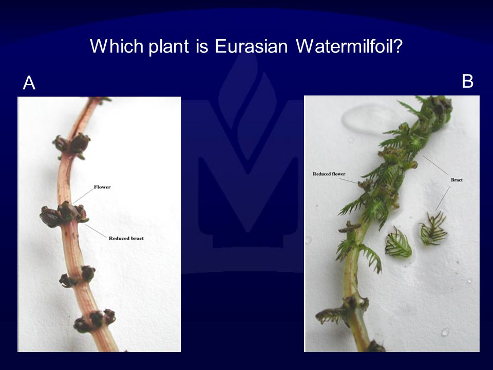 Which plant is Eurasian Watermilfoil
