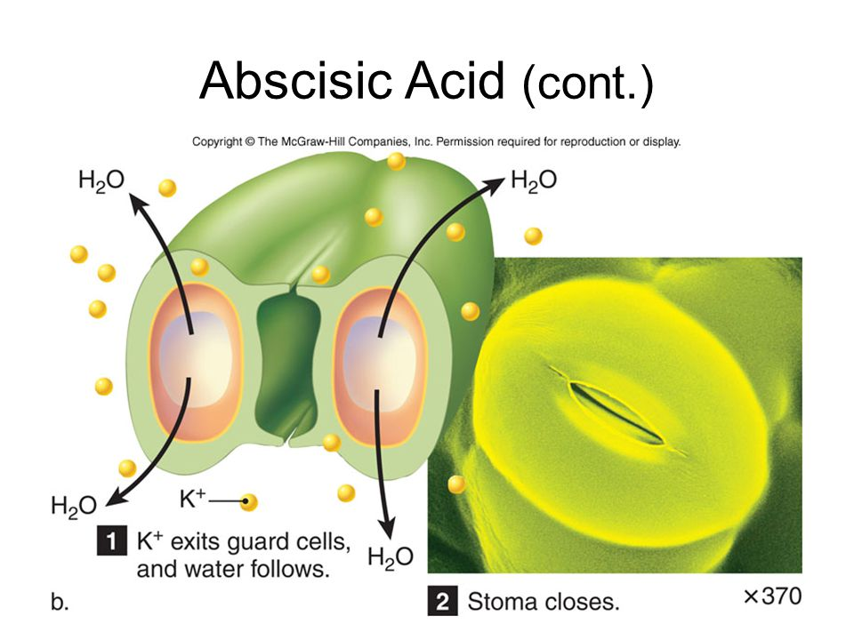 Abscisic Acid (cont.)