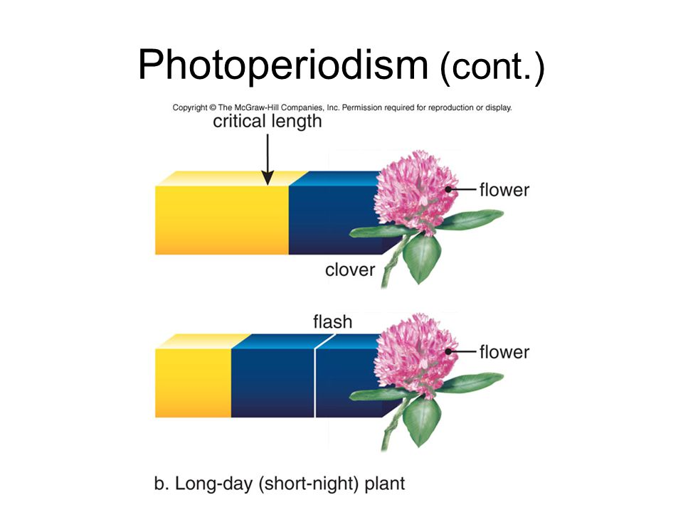 Photoperiodism (cont.)