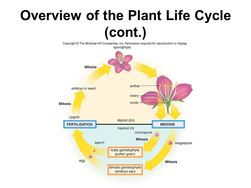 Overview of the Plant Life Cycle (cont.)