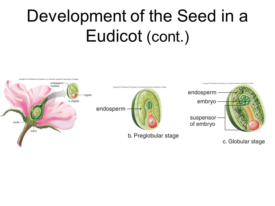 Development of the Seed in a Eudicot (cont.)