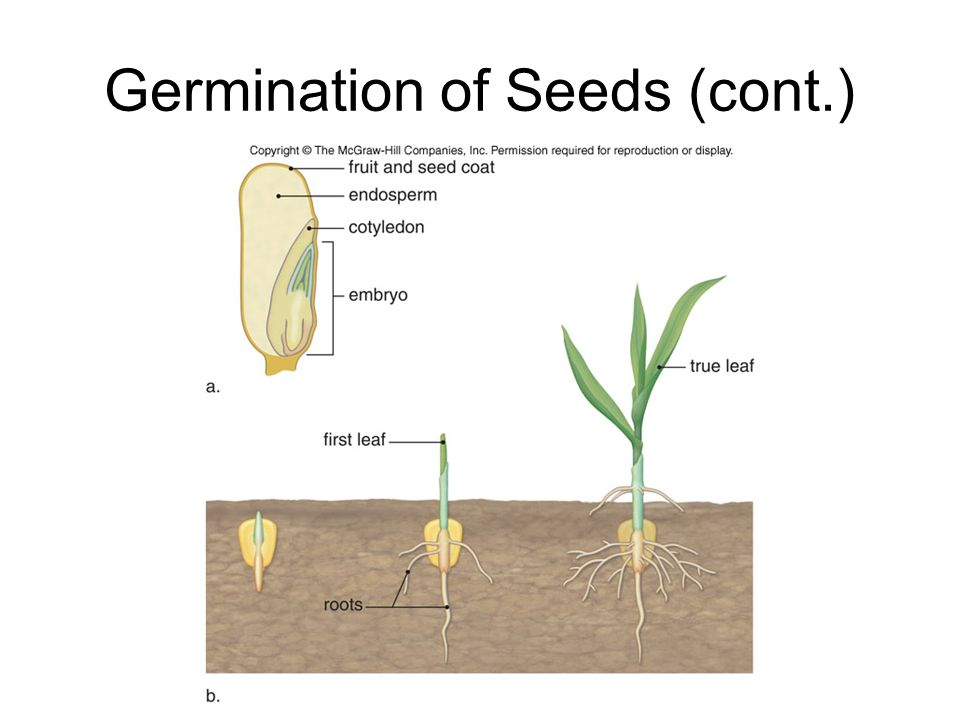 Germination of Seeds (cont.)
